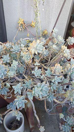 Succulents cuttings no pot free for Sale in Covina, CA