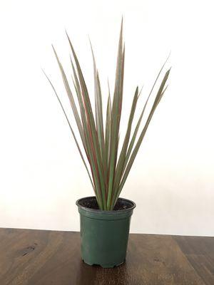 "Live Dracaena ""Dragon Plant"" in 4"" Pot for Sale in Phoenix, AZ"