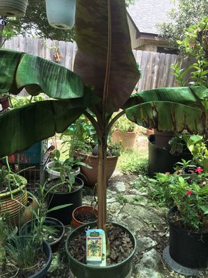 Blood Banana Tree for Sale in Round Rock, TX