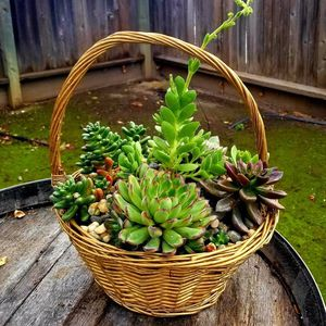 Basket Of Large Succulents for Sale in Gilroy, CA