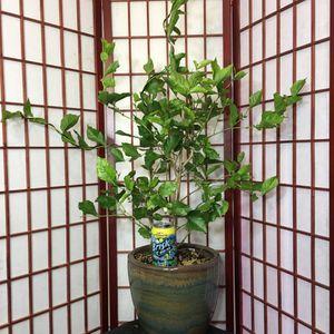 Pre-Bonsai: Jasmine, very large for Sale in Malden, MA