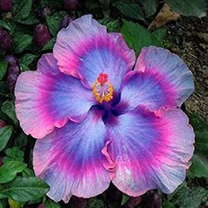 Hibiscus Hybrid Quasar for Sale in Riverview, FL