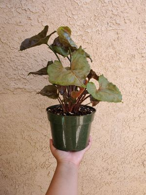 Syngonium Podophyllum 'María' Plant for Sale in Westminster, CA