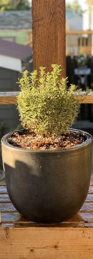 Live outdoor Variegated Boxleaf Euonymus plant in ceramic planter flower pot—firm price for Sale in Seattle, WA