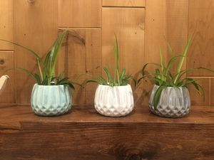 Spider plants with ceramic pot for Sale in Chino, CA