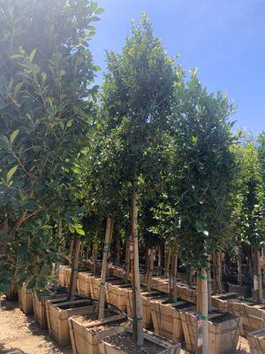 Ficus Indian laurel tree 36 gallon for Sale in Mesa, AZ