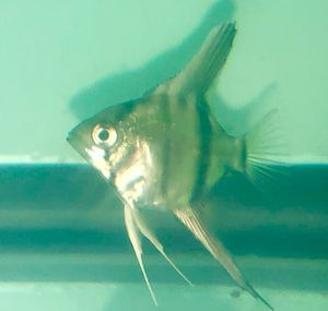 Juveniles locally bred Angel Fish. Quarter sized bodies. Parents are Koi and Striped. $4/ea minimum 12/Order for Sale in Claremont, CA