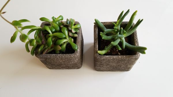 Set of succulents in cement pots