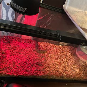 Tank And Toy Ball Python for Sale in Ontario, CA