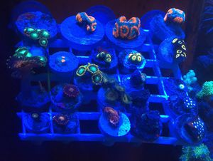 Saltwater Coral Frags/pieces for Sale in Tucson, AZ