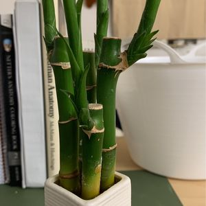 4 Bamboo Plants for Sale in Lake Elsinore, CA