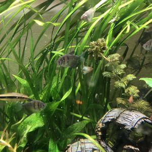 Jungle Val Live Aquarium Plants for Sale in Mukilteo, WA