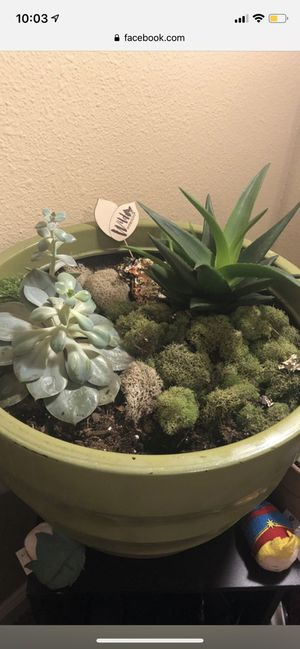 Two succulents for Sale in Aurora, CO