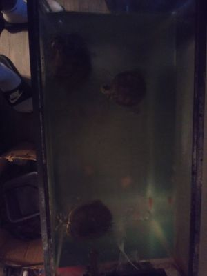 Free water turtles with tank for Sale in Glendale, AZ