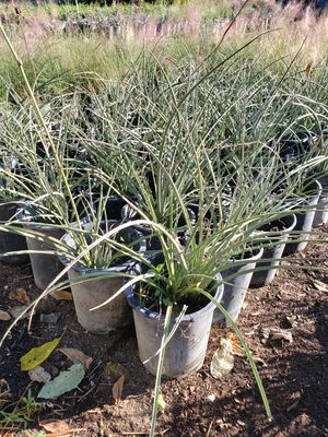 Red yucca for Sale in Ontario, CA