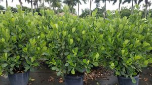 Clusias and podocatpus only $20 for Sale in Miami, FL