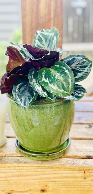 Live indoor Calathea Picturata house plant In a ceramic planter flower pot with attached base—firm price for Sale in Seattle, WA