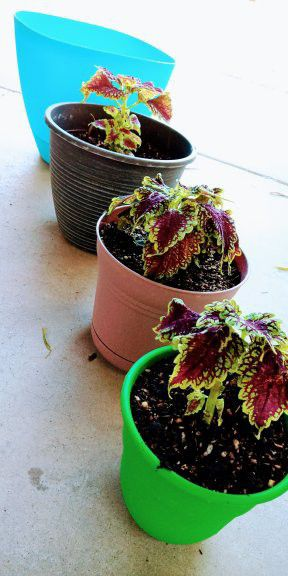Coleus plant for Sale in Avondale, AZ