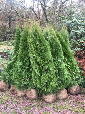 Evergreen Privacy Hedges for Sale in Tacoma, WA