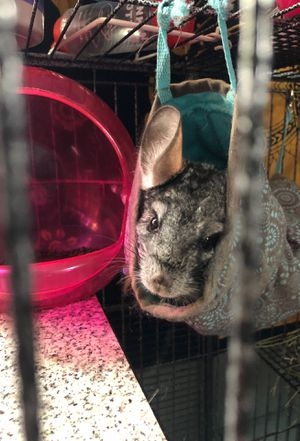 CUTE AND ADORABLE Chinchilla for sale! for Sale in Wheaton, MD