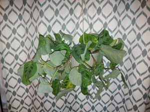 Variegated prayer plant, houseplant, planta de casa for Sale in Stockton, CA