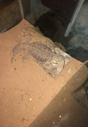 bearded dragon lizard and 55 gal tank for Sale in Glen Burnie, MD