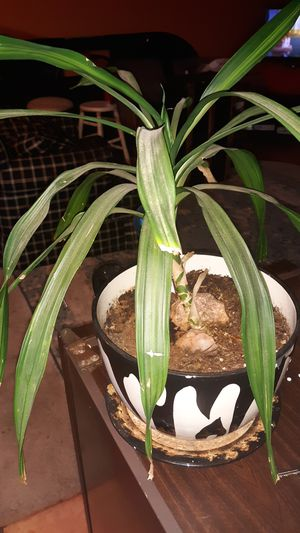 Indoor plant and pot for Sale in Colorado Springs, CO