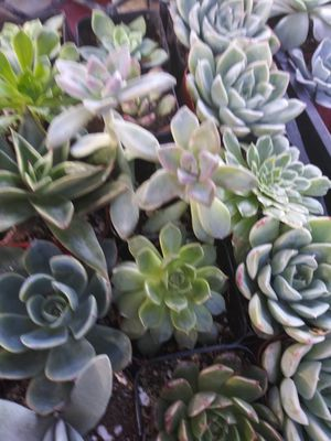 Party favors succulents plants $1 for Sale in Corona, CA