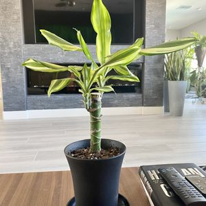 Live Dracaena 'sted sol cane' plant in a slim plaatic modern planter & saucer for Sale in Las Vegas, NV