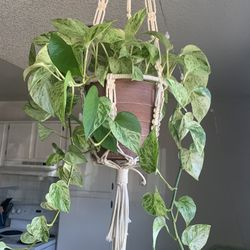 """Marble Queen Pothos w/ 8"""" Plastic Pot *Includes Hand-Made Plant Hanger for Sale in Golden,  CO"""