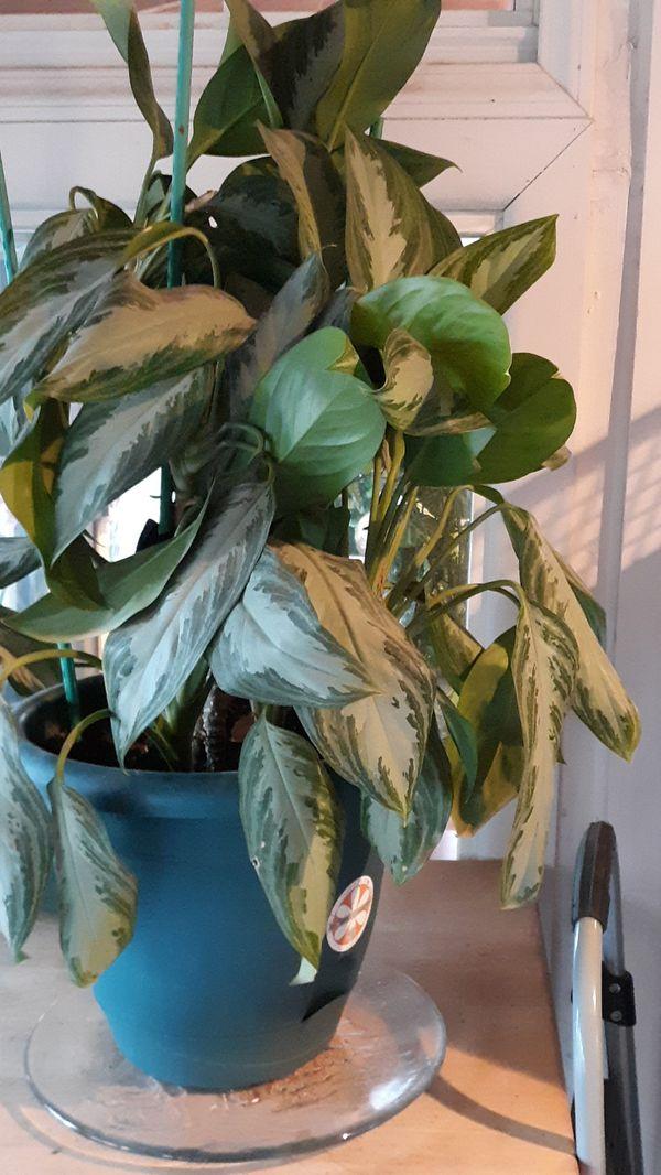 Large plants