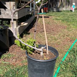 Fig Tree- 2 Year Grow $15 for Sale in San Jose,  CA