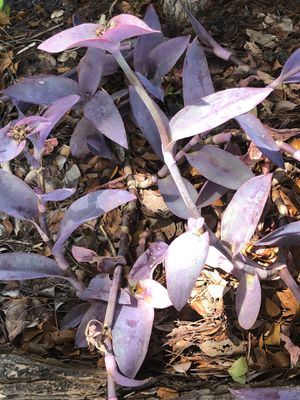 Purple queen plants for Sale in Tampa, FL