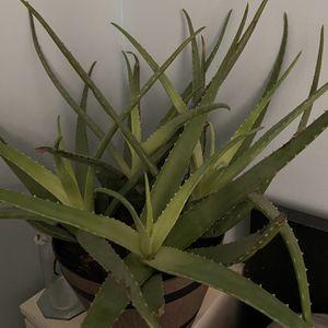 Aloe Vera Plant for Sale in Miami, FL