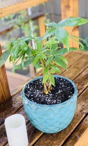 Live indoor Money 💵 tree house plant in a textured ceramic planter flower pot—firm price for Sale in Seattle, WA