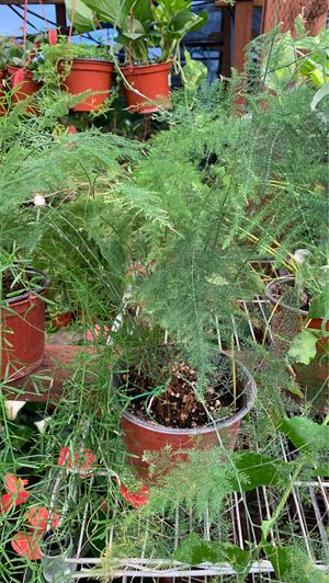 Large fern plant for Sale in Modesto, CA