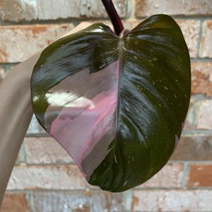 Philodendron Pink Princess - Top Cutting With New Leaf for Sale in Sugar Land, TX