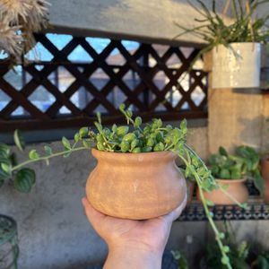 Small String of Watermelons 🍉 Succulent Plant (Planter Included) for Sale in Westminster, CA
