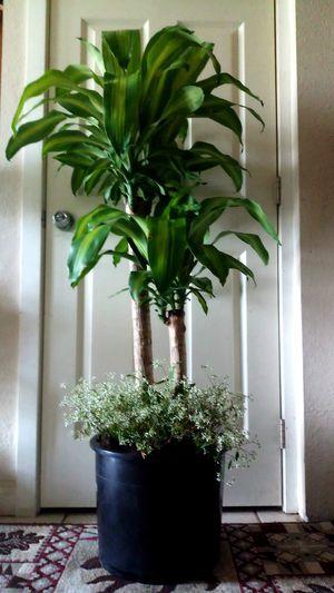Beautiful Mass Cane plants for Sale in Everett, WA