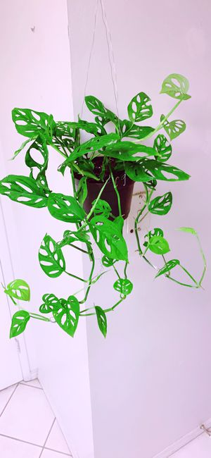 Monstera Adansonii Swiss Cheese Live Plants - Indoor Air Purifier Plant for Sale in Garden Grove, CA