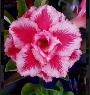 Adenium Desert Rose for Sale in Irwindale, CA
