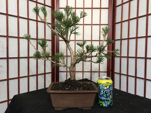 Bonsai: Japanese Black Pine for Sale in Malden, MA