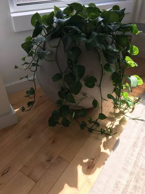Crate and barrel sphere planter (plant included) for Sale in New York, NY