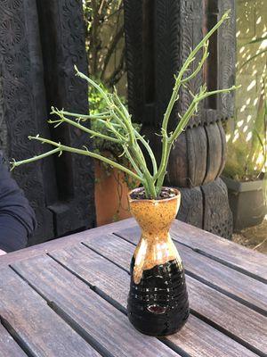 Succulent plant including pot for Sale in Tempe, AZ