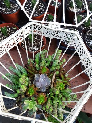 "14"" cage with succulent plants for Sale in Whittier, CA"