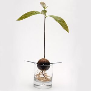 Avocado plants for Sale in Columbus, OH