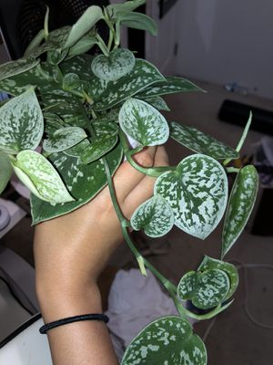 Silver Satin Pothos for Sale in Westminster, CA