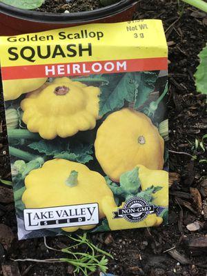 Golden scallop squash plant for Sale in Colorado Springs, CO