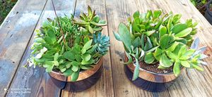 Succulent arrangement $10.00 each for Sale in Forest Hill, TX