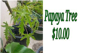 Papaya tree - last one for Sale in Hacienda Heights, CA